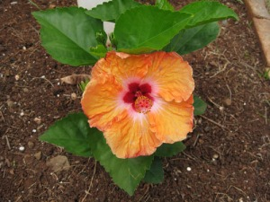 hibiscus-bloom-A
