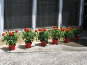 marigolds-3-a1