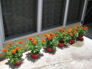 marigolds-4-a