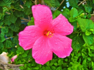 pink hibiscus-1-A