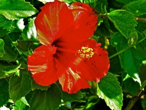 red hibiscus-1-A