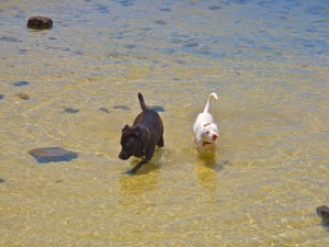 5-20-10-two dogs playing in ala wai harbor-A