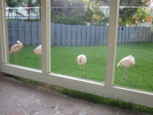 waikoloa-flamingos-1-A