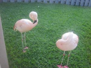 waikoloa-flamingos-2-A