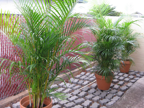 Merveilleux This Is How Our Potted Areca Palm Trees Looked Last Year Next To Our Patio.  Lovely!