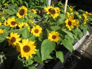 kcc-2011-24-sunflowers-A