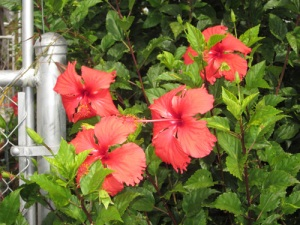 10-13-11-4-red hibiscus-A
