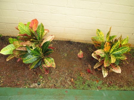 new crotons 002-A