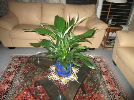 Spathiphyllum 002-A