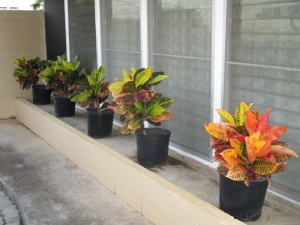 crotons 001-A