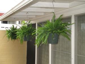 Ferns, Ryans, plant 011-A
