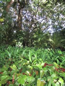 Wahiawa Botanical Garden 014-A