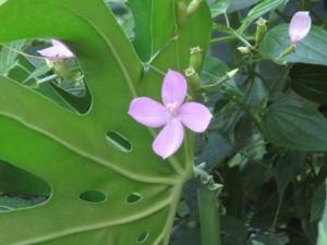 Wahiawa Botanical Garden 036-A