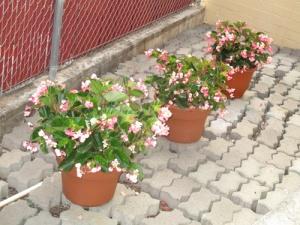 Begonias 012-A