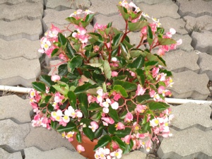 Begonias 015-A