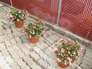 Begonias 016-A