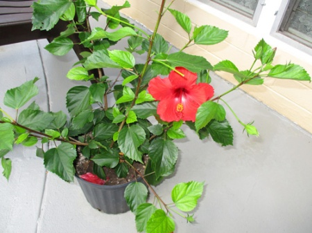 hibiscus-011-a